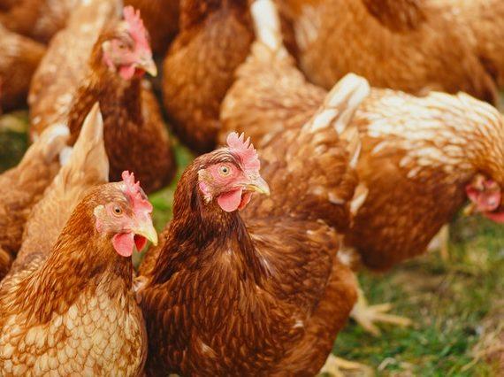 Backyard chickens for beginners | Baxta®
